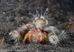 Hermit crab. Lembeh straits. D200, 60mm. by Derek Haslam 